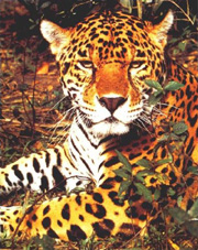 picture of jaguar